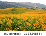 daylily flowers blooming in... | Shutterstock . vector #1135248554