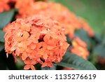 orange spike flower blooming ... | Shutterstock . vector #1135276619