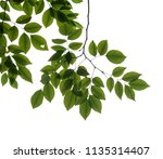 tree branch isolated | Shutterstock . vector #1135314407