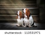 Stock photo two dog basset hound sitting and looks up at light 113531971