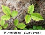 green vine on wood log | Shutterstock . vector #1135319864