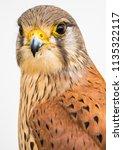 european kestrel portrait   Shutterstock . vector #1135322117