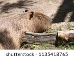 large capybara in a zoo | Shutterstock . vector #1135418765