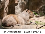 large capybara in a zoo | Shutterstock . vector #1135419641