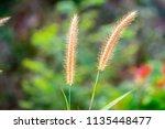 close up of golden reeds  on...   Shutterstock . vector #1135448477