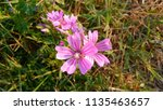 malva sylvestris  mallow plant...   Shutterstock . vector #1135463657