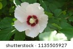 hibiscus syriacus. a plant of... | Shutterstock . vector #1135505927