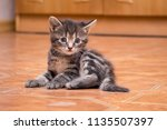 Stock photo a small striped kitten sitting in the room portrait of a small kitty in the interior 1135507397