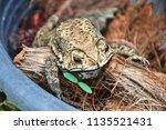toad is an amphibian  skin is... | Shutterstock . vector #1135521431