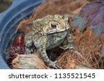 toad is an amphibian  skin is... | Shutterstock . vector #1135521545
