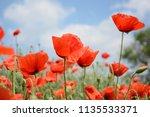 beautiful wild red poppies... | Shutterstock . vector #1135533371