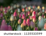 colorful tulips on a spring... | Shutterstock . vector #1135533599
