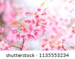 cherry blossom in spring with... | Shutterstock . vector #1135553234