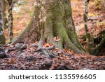 the big root of a tree in the... | Shutterstock . vector #1135596605