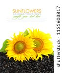 two sunflower and sunflower... | Shutterstock . vector #1135603817