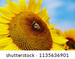 Yellow Sunflowers In The...