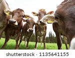 curious young brown cattle on... | Shutterstock . vector #1135641155