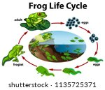 a frog life cycle illustration | Shutterstock .eps vector #1135725371