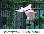 blue jay songbird flying onto... | Shutterstock . vector #1135763561