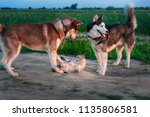 Stock photo two dogs play with cat on the walk siberian husky caught up siamese cat and touch it with his paws 1135806581