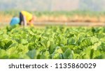 tobacco with farmers | Shutterstock . vector #1135860029