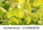 tobacco in the agricultural... | Shutterstock . vector #1135860035