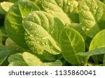 tobacco in the agricultural... | Shutterstock . vector #1135860041