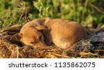 sleeping dog in the cold | Shutterstock . vector #1135862075