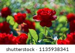 Stock photo red rose flower blooming in roses garden on background red roses flowers 1135938341