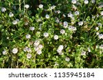 phyla nodiflora or cape weed ... | Shutterstock . vector #1135945184