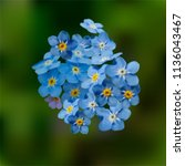 blue forget me not spring... | Shutterstock .eps vector #1136043467