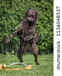 chocolate labrador playing with ... | Shutterstock . vector #1136048537