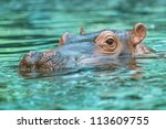 Hippopotamus Submerged In Wate...