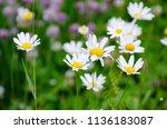 beautiful shasta daisies in... | Shutterstock . vector #1136183087
