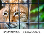 lynx in the cage. animal in... | Shutterstock . vector #1136200571