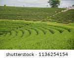 green tea field  green tea... | Shutterstock . vector #1136254154