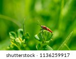 corizus hyoscyami  also known... | Shutterstock . vector #1136259917