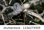 broad banded water snake ... | Shutterstock . vector #1136274509