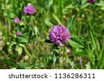 Close Up Of Purple Clover On...