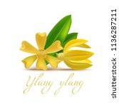 ylang ylang flower and leaf in... | Shutterstock .eps vector #1136287211