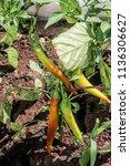 pepper  capsicum annuum  in... | Shutterstock . vector #1136306627