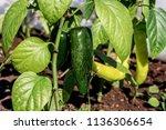 pepper  capsicum annuum  in... | Shutterstock . vector #1136306654
