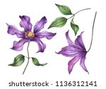 watercolor clematis  hand... | Shutterstock . vector #1136312141