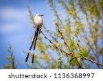 scissor tailed flycatcher ... | Shutterstock . vector #1136368997