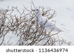 a white tailed ptarmigan in its ... | Shutterstock . vector #1136436974