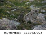 a white tailed ptarmigan in... | Shutterstock . vector #1136437025
