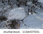 a white tailed ptarmigan in its ... | Shutterstock . vector #1136437031