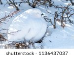 a white tailed ptarmigan in its ... | Shutterstock . vector #1136437037