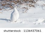 a white tailed ptarmigan in its ... | Shutterstock . vector #1136437061