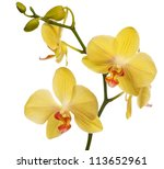 Light Yellow Orchid Flowers...